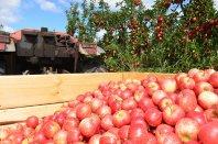 zbiór jabłek w sadzie
