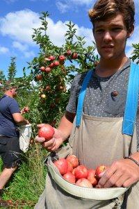 chłopak zbierający jabłka w sadzie