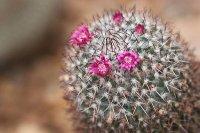 Niewielkie kwiaty kaktusa